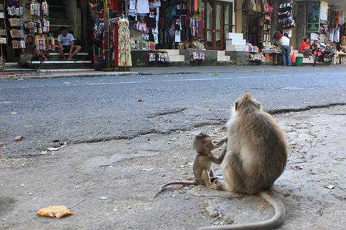 Kaksi apinaa. Bali.