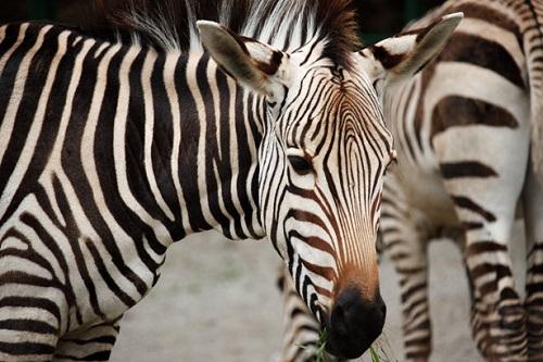Seepra, Serengeti.